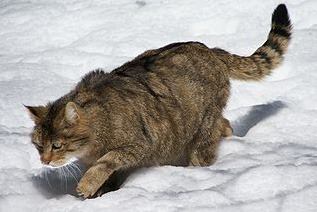 La prima uscita con il guinzaglio e pettorina del gatto