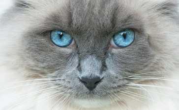 Gatto con occhio che lacrima, congiuntivite. Infezione da Herpesvirus, Calicivirus e Clamidia