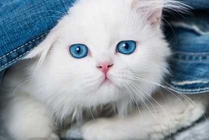 Come utilizzare correttamente l'antipulci nei gatti cuccioli, un esempio pratico
