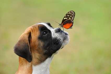 Boxer che si gratta molto, prurito cane
