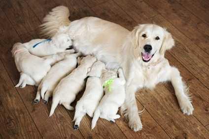 Il parto del cane: ecco come avviene e cosa fare