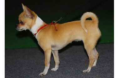 Chihuahua cane da compagnia