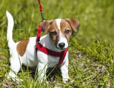 Camminando con il cane: come educare un cucciolo di cane al guinzaglio