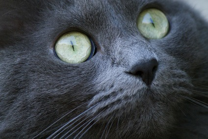 congiuntive gatto