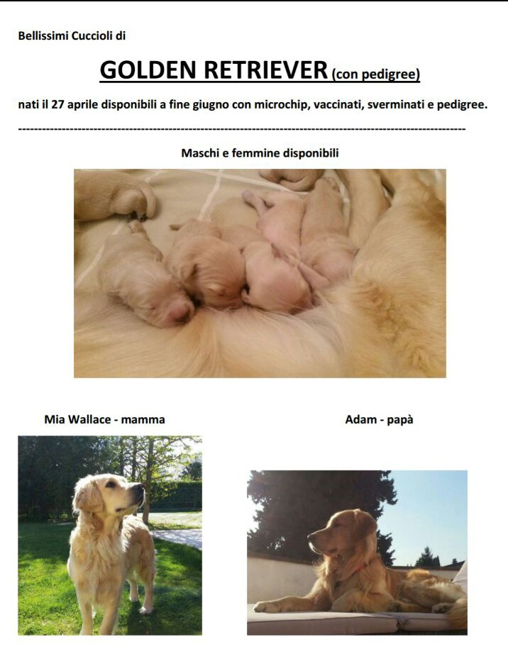 Bellissimi cuccioli di Golden Retriever con Pedigree