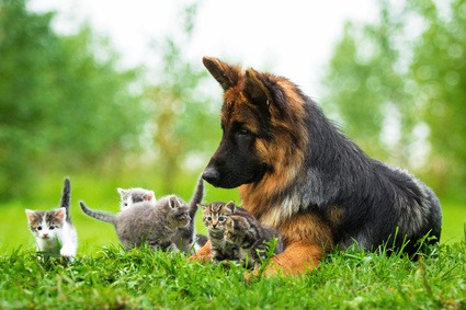 Alimentazione per cucciolo di Pastore Tedesco