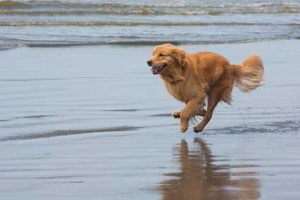 Displasia nei cani - Displasia nei cani -  Le cause della displasia dell'anca nel cane