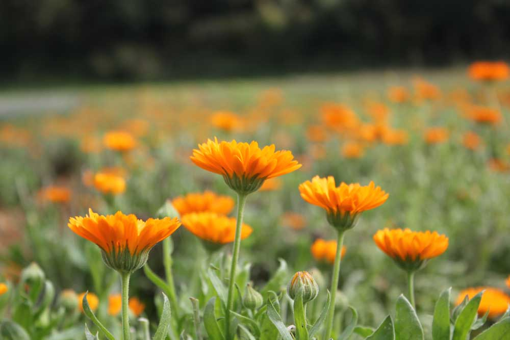 Le erbe officinali nelle crocchette per cani Dalla Grana Pura Natura