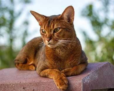 gatto che scappa - perché i gatti si allontanano da casa