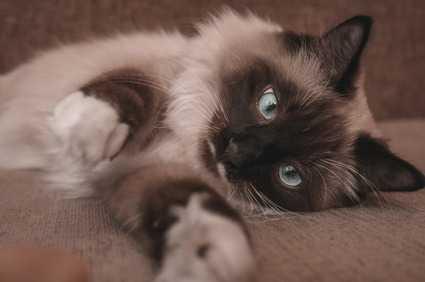 Perché il gatto si fa le unghie su poltrone e divani