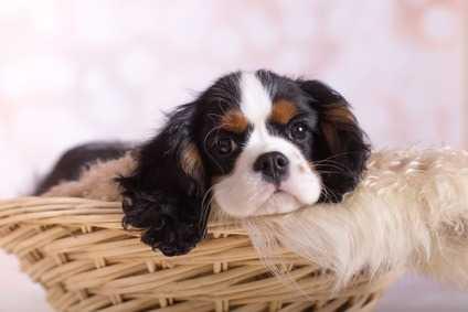 intolleranza al mais cane Cavalier King