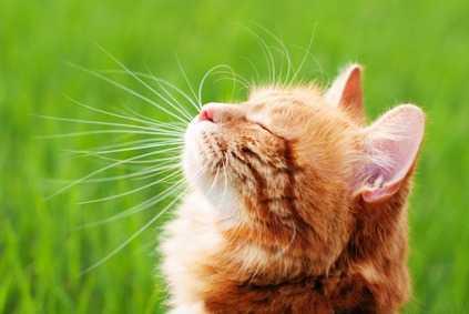 lacrimazione occhi gatto
