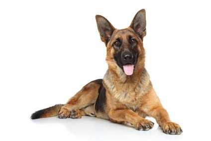 Le razze canine più predisposte alla displasia dell'anca