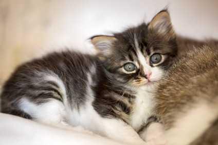 La pulizia degli occhi del gatto