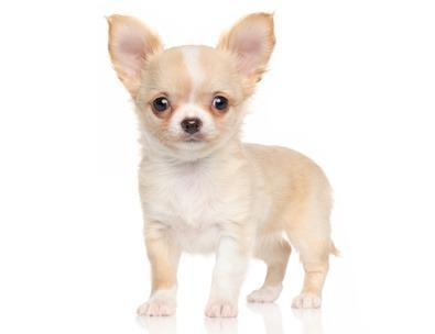 Alimentazione cucciolo di Chihuahua | La Nutrizionista risponde