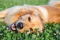 Tetraparesi non deambulatoria per cane meticcio