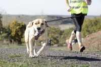 Cane Labrador con respiro accelerato