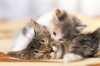 La sterilizzazione del gatto femmina e maschio