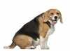 Il sovrappeso e l'obesità nel cane, cause e rimedi