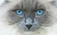 Gatto con occhio che lacrima, congiuntivite. Infezioni da Herpesvirus, Calicivirus e Clamidia