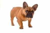 Cucciolo di Bouledogue francese con orecchie abbassate