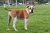 Sindrome iperflessoria del carpo per un american bulldog