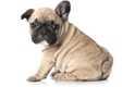 Feci molli e alimentazione French Bulldog