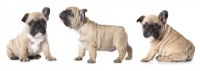 Cucciolo di bulldog francese con orecchio abbassato
