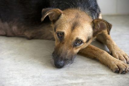 processionaria cane sintomi