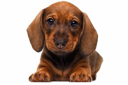 diarrea cucciolo cane