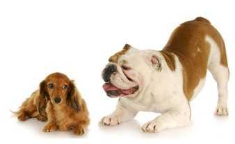 approccio tra due cani uno dei due si mette in posizione di gioco