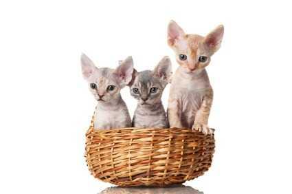 Gatti da appartamento: il Devon Rex