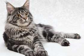 gatti da appartamento il maine coon