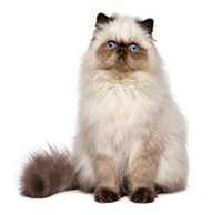 Gatti da appartamento: il Persiano