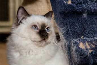 Gatti da appartamento: il Ragdoll