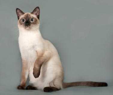 Quali sono le migliori razze di gatti da appartamento: guida alla scelta