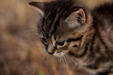 Il gatto, un carnivoro per eccellenza