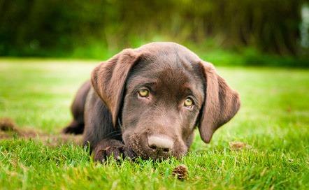 Cereali nell'alimentazione del cane: le conseguenze