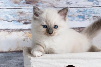 gatti per bambini - Ragdoll