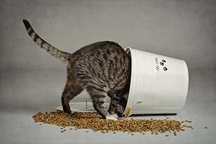 obesity gatto