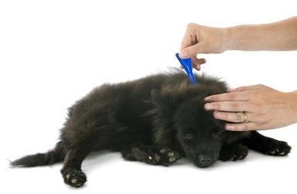 prurito del cane