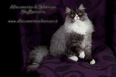 Cucciolo di gatto siberiano, consigli sull'alimentazione