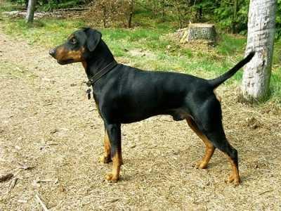 Pincher apatico al ritorno dalla pensione per cani