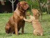 Cucciolo di Dogue de Bordeaux che non deambula bene