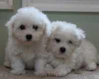 Cuccioli di Bichon Frisé non bianchi