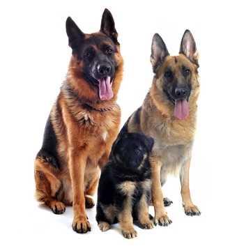 Cane affetto da coprofagia