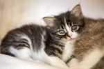 Tenia del gatto, sintomi prevenzione e cura