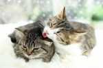 L'accoppiamento e la gestazione nel gatto