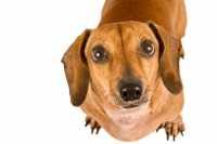 Consigli sull'alimentazione di un cane bassotto con trigliceridi e colesterolo alti
