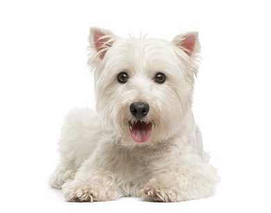 Cane Maltese Con Lacrimazione